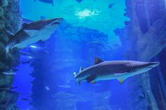Dos tiburones de arena que nadan en agua azul imagenes de archivo