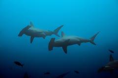 Dos tiburones de hammerhead en las aguas azules Imágenes de archivo libres de regalías