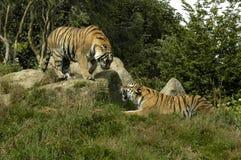 Dos tigres fotografía de archivo