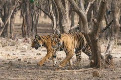 Dos tigres de Bengala que caminan junto en el Ranthambore p nacional Imagen de archivo