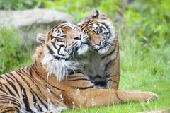 Dos tigres junto Imágenes de archivo libres de regalías