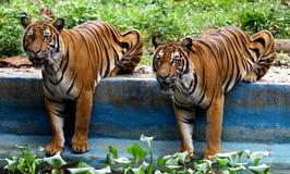 Dos tigres malayos en el parque zoológico Malasia imagen de archivo libre de regalías