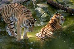 Dos tigres que se refrescan apagado en la charca Imágenes de archivo libres de regalías