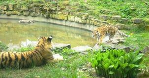 Dos tigres salvajes en la naturaleza, 4k almacen de video