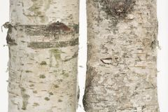 Dos tocones de madera de abedul que se levantan Imagen de archivo