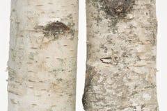 Dos tocones de madera de abedul que se levantan Foto de archivo