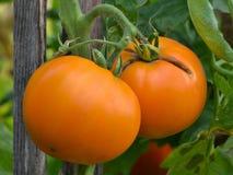 Dos tomates ecológicos casi maduros que cuelgan de la planta provienen Fotos de archivo