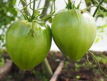 Dos tomates verdes grandes que maduran fotos de archivo