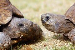Dos tortugas Imágenes de archivo libres de regalías