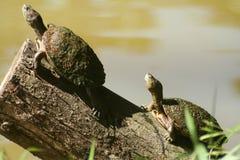 Dos tortugas Foto de archivo libre de regalías