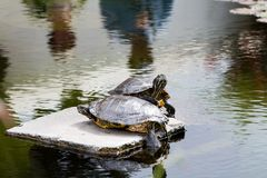Dos tortugas acuáticas en una roca imagenes de archivo