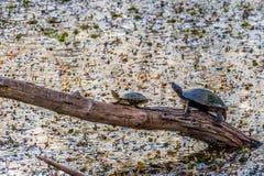 Dos tortugas que filtran para empapar en los rayos calientes pasados de un sol poniente Fotografía de archivo libre de regalías