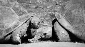 Dos tortugas grandes Fotos de archivo