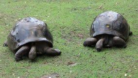 Dos tortugas grandes Foto de archivo