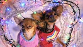Dos Toy Terrier es un perro amarillo del ` s del Año Nuevo Imagen de archivo libre de regalías