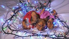 Dos Toy Terrier es un perro amarillo del ` s del Año Nuevo Foto de archivo libre de regalías