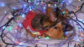 Dos Toy Terrier es un perro amarillo del ` s del Año Nuevo Fotografía de archivo libre de regalías