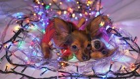 Dos Toy Terrier es un perro amarillo del ` s del Año Nuevo Fotografía de archivo