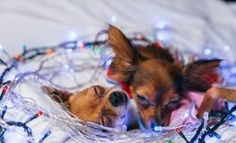 Dos Toy Terrier es un perro amarillo del ` s del Año Nuevo Foto de archivo