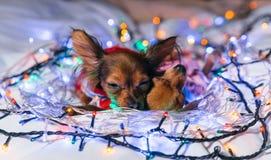 Dos Toy Terrier es un perro amarillo del ` s del Año Nuevo Fotos de archivo libres de regalías