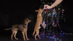 Dos Toy Terrier es un perro amarillo del ` s del Año Nuevo almacen de video