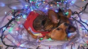 Dos Toy Terrier es un perro amarillo del ` s del Año Nuevo