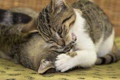 Dos tres meses del gatito están jugando Imagen de archivo