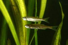 Dos tristes comunes, pescados del alburnus de Alburnus Foto de archivo libre de regalías