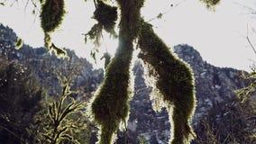 Dos troncos demasiado grandes para su edad grueso con el musgo verde en los sunlights metrajes