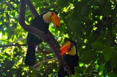 Dos tucanes del toco que se relajan en la rama Fotografía de archivo libre de regalías