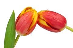 Dos tulipanes Fotos de archivo libres de regalías