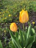 Dos tulipanes amarillos Imagen de archivo