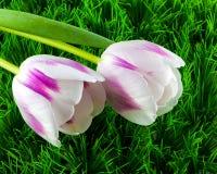Dos tulipanes en hierba verde Imagenes de archivo