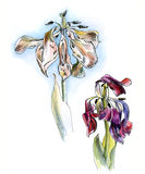 Dos tulipanes que se marchitan, gráfico, bosquejo de la acuarela, aislado Imagen de archivo