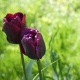 Dos tulipanes rizados púrpuras en campo de la primavera Imagenes de archivo