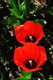Dos tulipanes rojos florecientes Fotografía de archivo