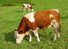 Dos vacas Imagenes de archivo