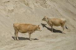 Dos vacas amarillas que se colocan en la arena Concepto de la granja Fotos de archivo