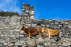 dos vacas cerca de la cerca de piedra Imagen de archivo