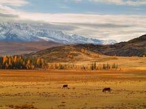 Dos vacas de estepa de Kurai de las montañas foto de archivo libre de regalías