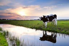 Dos vacas de leche por el río en la puesta del sol Imagen de archivo libre de regalías
