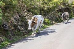 Dos vacas de Madeira que caminan abajo en el camino Fotografía de archivo