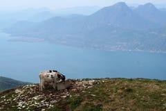 Dos vacas en el lago Imagen de archivo