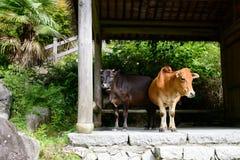 Dos vacas en el pabellón imagen de archivo