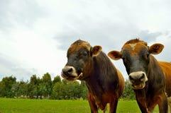 Dos vacas en un prado imagenes de archivo