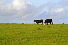 dos vacas en una colina con un fondo cubierto del cielo Foto de archivo
