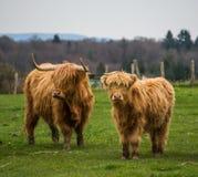Dos vacas escocesas con los cuernos largos Foto de archivo