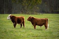 Dos vacas escocesas de los yacs en campo verde Islas de Pakri, Estonia fotografía de archivo