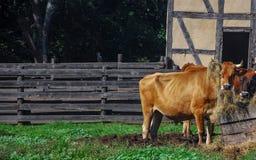 Dos vacas hambrientas con el heno en su situación del cuerno en fango en el Viejo Mundo Wisconsin fotografía de archivo