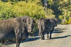 Dos vacas negras en el camino sucio, Patagonia, Chile Fotos de archivo libres de regalías